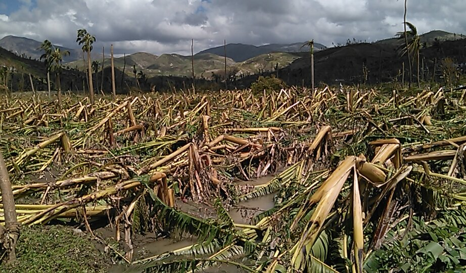 Banana plantation destroyed