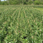 Pre-hurricane shot of high-yield ORE-corn-seed production